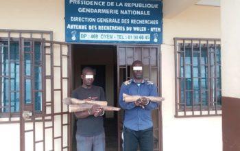 Trafic d'ivoire à Oyem/Arrestation de deux trafiquants