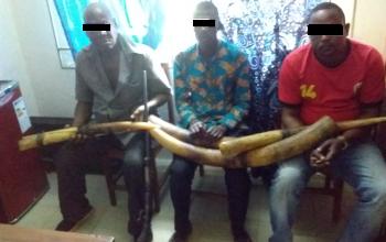 5 présumés trafiquants d'ivoire arrêtés en octobre avec 40 kg d'ivoire