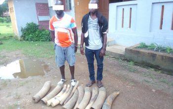 Deux opérations menées en décembre 2020, 71 kg d'ivoire saisis et 5 personnes arrêtées