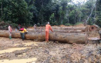 Le chinois Chen Weixing condamné au Gabon pour exploitation forestière illégale