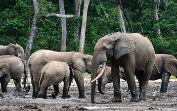 47 trafiquants de faune arrêtés au Gabon grâce à Conservation Justice en 2020