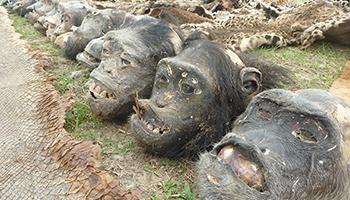 5 Vendeurs de têtes et mains de grands singes, peaux de panthère,… derrière les barreaux