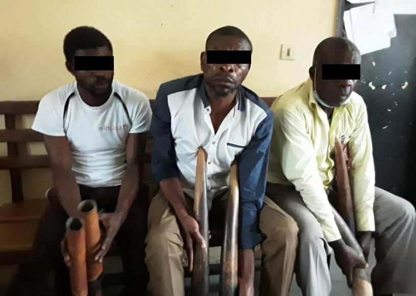 12 présumés trafiquants d'ivoire arrêtés en septembre 2020